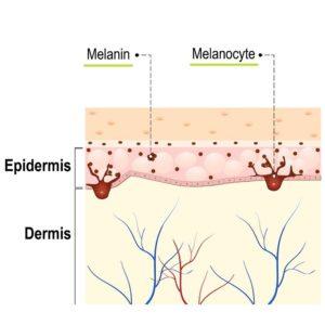 how skin tans melanin diagram